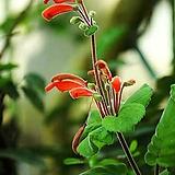 코페리(신닝기아)进口种子15립|