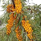 비타민나무삽목2年생(암놈4+숫놈1)1set|