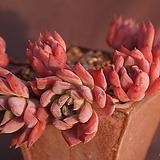 묵은콜로라타브랜티(컷팅한몸)|Echeveria Colorata fma Brandtii