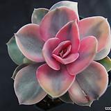 웨스트레인보우(목대)1|Echeveria rainbow