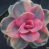 웨스트레인보우(목대)5|Echeveria rainbow