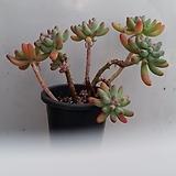 을녀심|sedum pachyphyllum
