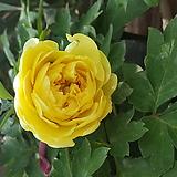 목단개화주(노랑색)|