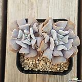 큐빅후로스티(목대)|Echeveria pulvinata Frosty