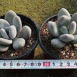 홍미인[랜덤]|Pachyphytum ovefeum cv. momobijin