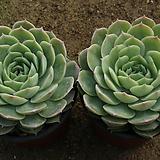 온슬로우[랜덤]|Echeveria cv  Onslow