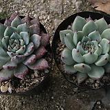 원종자라고사[랜덤]|Echeveria mexensis Zaragosa