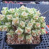 희성금 자연군생12-432|Crassula Rupestris variegata