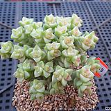희성금 자연군생12-433|Crassula Rupestris variegata