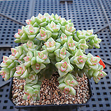 희성금 자연군생12-434|Crassula Rupestris variegata