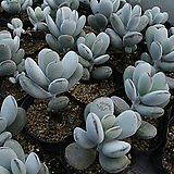 방울복랑[랜덤] 알뜰장터|Cotyledon orbiculata cv