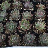 소후렌[랜덤]|Echeveria agavoides Prolifera