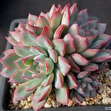 핑크엣지 12-288|Echeveria pink edge