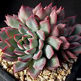 핑크엣지 12-289|Echeveria pink edge