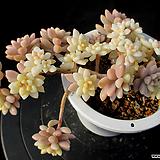 베라하긴스 금 12-298|Graptopetalum Mirinae