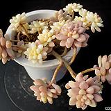 베라하긴스 금 12-300|Graptopetalum Mirinae