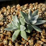 화이트그리니 2두 12-302|Dudleya White gnoma(White greenii / White sprite)