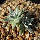 화이트그리니 2두 12-303|Dudleya White gnoma(White greenii / White sprite)