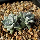화이트그리니 2두 12-305|Dudleya White gnoma(White greenii / White sprite)