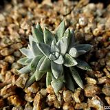화이트그리니 3두 12-307|Dudleya White gnoma(White greenii / White sprite)