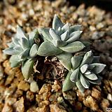 화이트그리니 3두 12-308|Dudleya White gnoma(White greenii / White sprite)