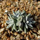 화이트그리니 3두 12-309|Dudleya White gnoma(White greenii / White sprite)