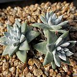 화이트그리니 3두 12-310|Dudleya White gnoma(White greenii / White sprite)