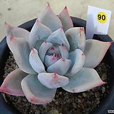 (12月)야생콜로라타90|Echeveria colorata