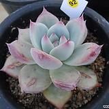 (12月)야생콜로라타92|Echeveria colorata