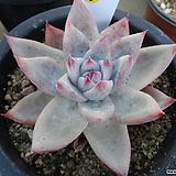 (12月)야생콜로라타96|Echeveria colorata