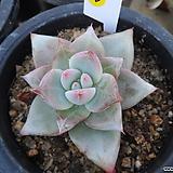 (12月)야생콜로라타2|Echeveria colorata