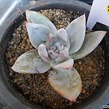 (12月)야생콜로라타25|Echeveria colorata