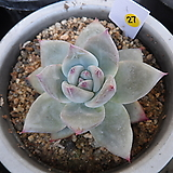 (12月)야생콜로라타27|Echeveria colorata