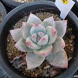 (12月)야생콜로라타31|Echeveria colorata