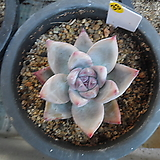 (12月)야생콜로라타33|Echeveria colorata