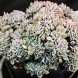 양로철화 45 (섭세실리스철화)|Echeveria subsessilis