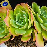 레몬로즈 24|Echeveria Lemon Rose