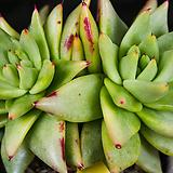 골드동운 43 자연군생한몸|Echeveria agavoides var. Corderoyi