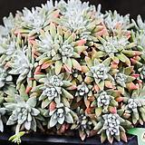 화이트그리니 22 (목대좋아요..묵은아이랍니다)|Dudleya White gnoma(White greenii / White sprite)