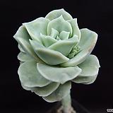 러블리로즈(목대)1|Lovely Rose