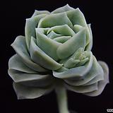 러블리로즈(목대)4|Lovely Rose