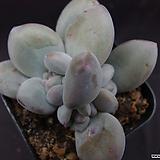 후레뉴(목대자구)6|Pachyphtum cv Frevel