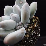 후레뉴(목대자구)9|Pachyphtum cv Frevel