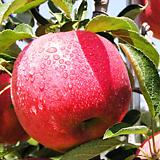 홍로 사과나무 결실주♥왜성사과♥화분째 배송되는 상품♥사과 묘목 왜성|Echeveria Hongro