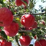 미얀마후지 사과나무 결실주♥왜성사과♥최신 부사품종 극과대종♥화분째 배송상품♥사과 묘목 왜성|Sedum torereasei