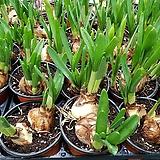 수선화(노란봄꽃)구근식물 