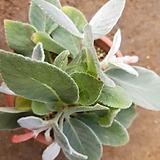 단애의 여왕(사진상의 아이로) Rechsteineria leucotricha