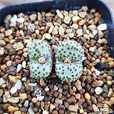 Conophytum picturatum(홍문)