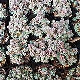 희성미인18104 Pachyphytum oviferum