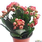 칼란디바(겹카랑코에/꽃색랜덤발송)|